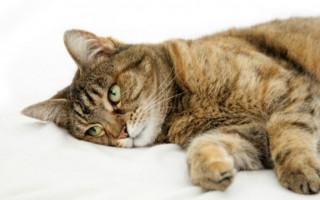 Диарея у кота, кошки