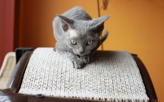 Порода кошек Минскин