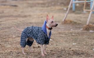 13 пород собак, которых нельзя выпускать на улицу без зимней одежды