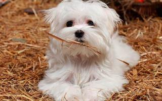 Лучшая порода собак для детей в квартире