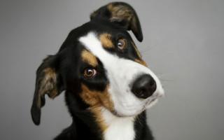Брадикардия у собак симптомы и лечение
