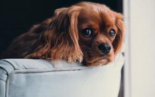 Кокцидиоз у собак