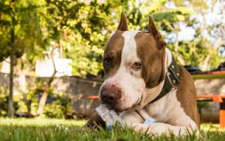 Иридоциклит у собак, симптомы иридоциклита у собак