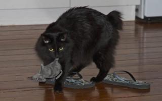 Мэнкс или мэнская кошка — описание пород котов