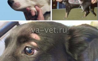 Дерматомикоз у собаки: пути заражения, симптомы заболевания и методы лечения