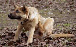 Как вывести блох у собак: специальные и народные средства