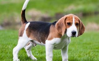 Собака бигль (фото): отличный охотник, озорной компаньон