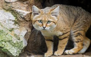 Самые быстрые кошки в мире; список, названия, максимальная скорость, описание, фото и видео