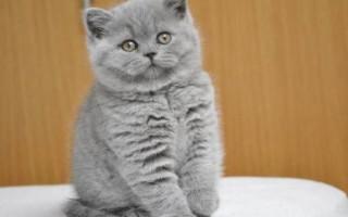 Самые большие домашние кошки в мире: ТОП пород