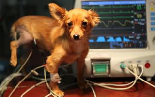 Дилатационная кардиомиопатия у собак (ДКМП)