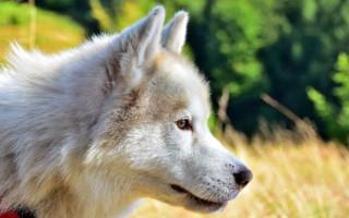 Блефарит у собак: причины возникновения, виды и их симптомы, лечение