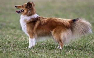 Порода собак шелти (фото): ласковый друг семьи с веселым нравом
