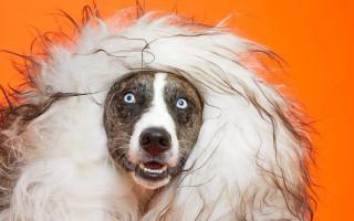 Перхоть у собаки: причины и лечение, аллергия у человека