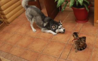 5 методов научить собаку не реагировать на кошек