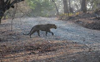 Собака против леопарда