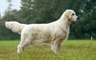 Какую собаку выбрать: топ-10 самых умных пород