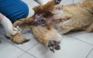 Комплексное лечение трансмиссивной (венерической) саркомы собак с применением сарколитина К-9
