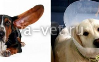 Гематомы и лимфоэкстравазаты — как лечить у собак