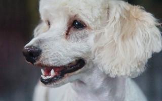Чем убрать коричневые пятна от слезных дорожек у белой собаки