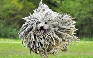 Самые забавные породы собак: топ-10