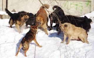 Что нужно знать об иерархии собачьей стаи