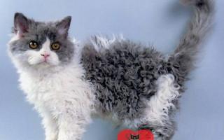 Скокум — описание пород котов