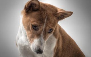 Басенджи — фото африканской породы собаки, которая не лает
