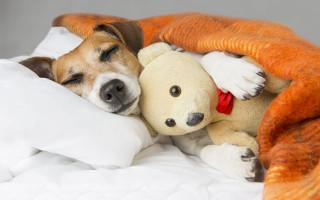 Спящая собака: почему её нельзя будить и как сделать это правильно