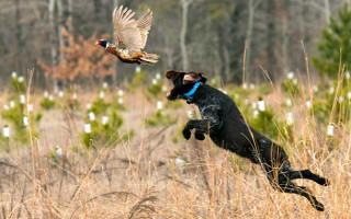 Дрессировка и обучение охотничьих собак