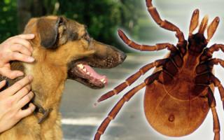 Что такое пироплазмоз (бабезиоз) у собак, чем он опасен и как его лечить