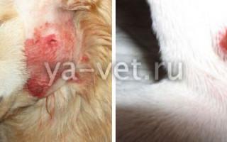 Абсцесс у собаки: диагностика, лечение