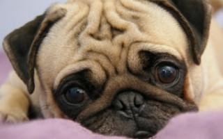 Собака мопс (фото): ласковый нрав и жизнерадостность