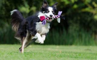 10 самых послушных пород собак: они поймут вас с полуслова