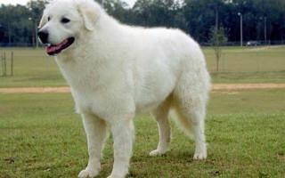 Кувас (фото): Невероятно красивая и свободолюбивая собака