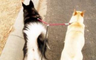 Что лучше для собаки — шлейка или ошейник