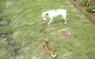 Ветврачи: как помочь собаке при укусе змеи