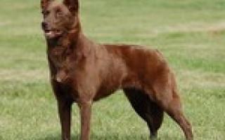 Короткошёрстные породы собак