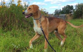 Русская гончая (фото): Идеальная собака для тех, кто любит охоту, и не только