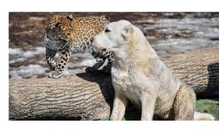 Собака – мама для леопарда!