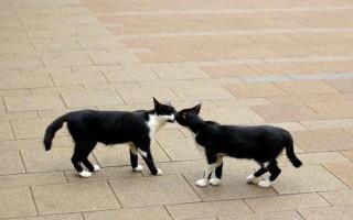 Особенности, признаки и симптомы первой течки у кошек