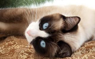 Сноу-шу — описание пород котов