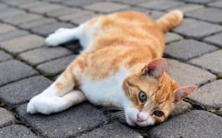 Первая помощь кошке: Что делать в первые минуты после травмы