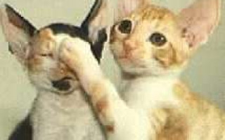 Нематодозы (глисты): токсокароз и токсаскаридоз у кошек
