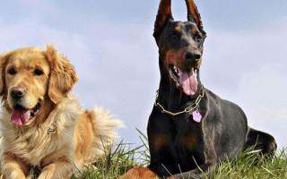 8 пород собак, которые легко переносят жару