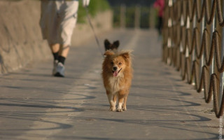 Как гулять с щенком в первый раз