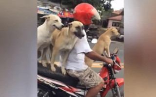 На Филиппинах мотоциклист прокатил с ветерком трёх собак