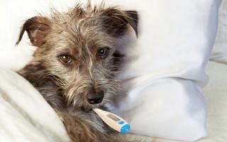 Парвовирусный энтерит собак