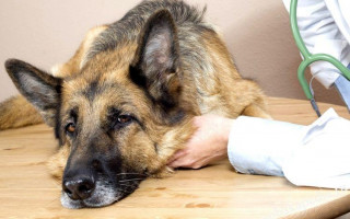 Скопление жидкости – водянка у собак: симптомы и лечение