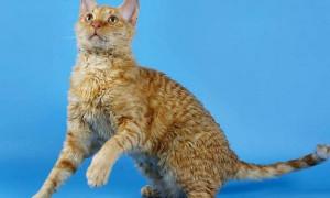 Уральский рекс — русская аборигенная порода кудрявых кошек с курчавой шерстью