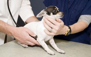 Как подготовить собаку к приему ветеринарного врача